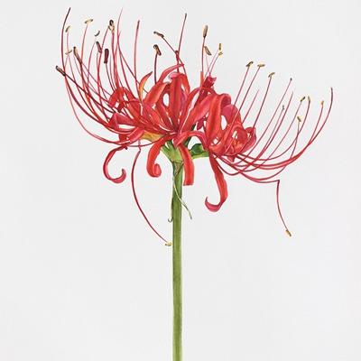 [A0441-0017] 꽃무릇