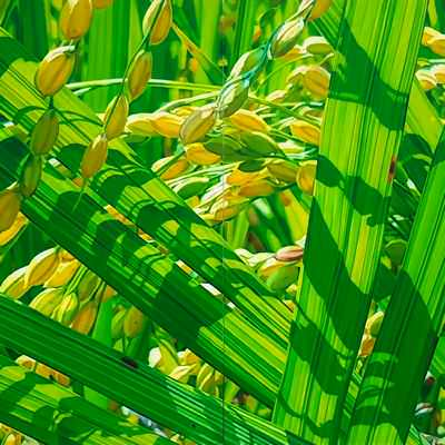 [A0488-0012] 벼(rice) 4