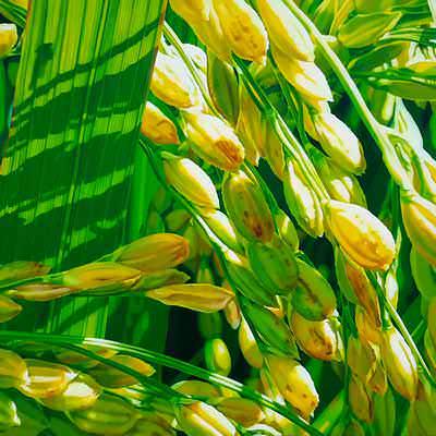 [A0488-0013] 벼(rice) 7