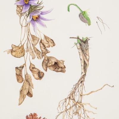 [A1012-0003] 동강할미꽃