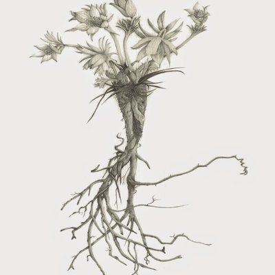 [A1012-0017] 동강할미꽃