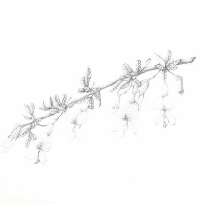 [A1012-0018] 골담초