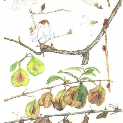 [A1012-0022] 미선나무